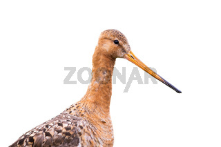 Portrait of Black-tailed godwit, limosa limosa, isolated on white background.