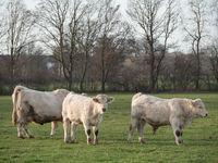 weisse Kühe