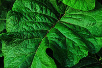 Green leaves photo pattern in top view Inflorescence of burdock with the big green leaves Natural background with dark green foliage. Summer time. Green leaf burdock. Medicinal plant burdock. Closeup.