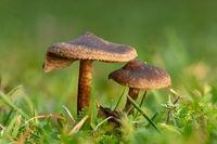 Kleine braune schleimige Lamellenpilze auf dem Rasen vor unscharfem grünen Hintergrund