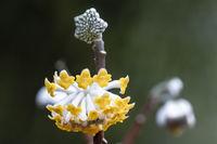 Japanischer Papierbusch Edgeworthia chrysantha