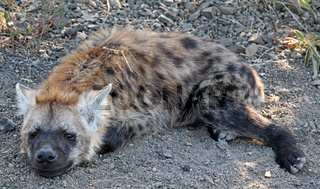 Junge Tüpfelhyäne liegt am Wegesrand, Kruger Nationalpark, Südafrica; young hyena lying next to the street, south africa, wildlife, Crocuta crocuta