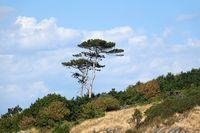Bäume am Kullaberg in Schweden
