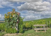 Vineyard Landscape in Rhinehessen wine region,Germany