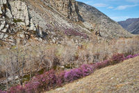 Altai landscape with Rhododendron dauricum with flowers in blossom on the bank of altai river Ilgumen