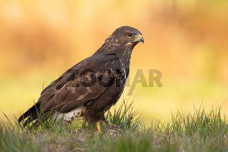 Impressive common buzzard sitting on the ground in fall.