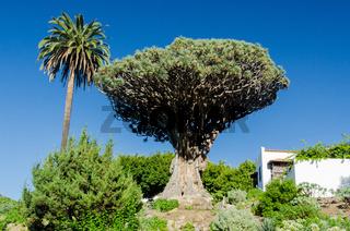 Drachenbaum auf Teneriffa, Spanien