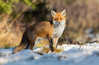 Red fox observing on snowy field in winter nature.