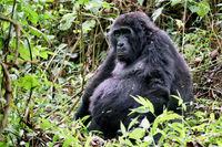 Alter Berggorilla im Bwindi Impenetrable Nationalpark Uganda (Gorilla beringei beringei)   Old Mountain Gorilla at Bwindi Impenetrable National Park Uganda (Gorilla beringei beringei)