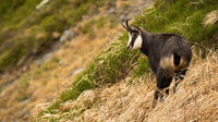 Tatra chamois standing on mountainside in summer nature.