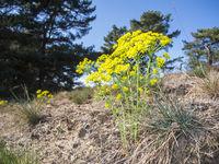 Euphorbia cyparissias_Spurge_wide angle