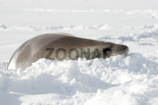 Resting crabeater seal.