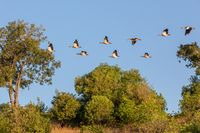 flock of birds Egyptian goose, Chobe river, Botswana Africa
