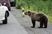 Wild hungry Kamchatka brown bear walking on road and begs for human food from people