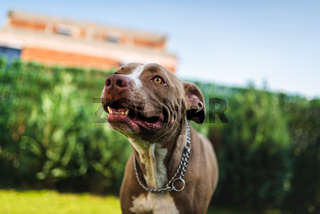 Closeup of young Amstaff dog head against green background in summer garden.