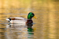 Mallard male floating on water in winter nature.