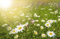 Panorama einer Frühlingswiese mit Blumen und Sonne