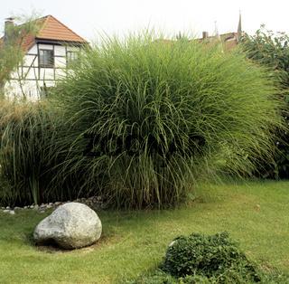 Vorgarten, Hausgarten,   Miscanthus, Sinensis