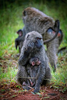 Pavian schützt sein Junges im Lake Mburo Nationalpark in Uganda | Baboon watching his baby at Lake Mburo National Park in Uganda