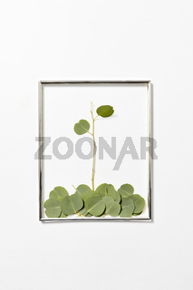 Congratulation frame with plant composition from Eucalyptus leaves.