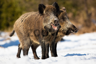 Two wild boars standing on meadow in winter sunny nature