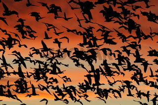 Snow geese in the dawn, Bosque del Apache, New Mexico USA
