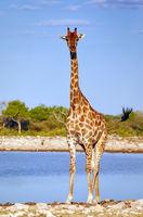 Giraffe, Etosha-Nationalpark, Namibia, (Giraffa camelopardalis) | giraffe, Etosha National Park, Namibia, (Giraffa camelopardalis)