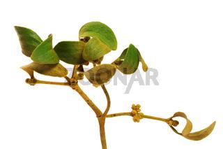 Greenish-yellow branch of european mistletoe Viscum album with foliag