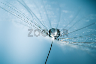 Drops of dew on dandelion seeds. Macro background blue color. Drops of water on the parachutes of a flower. Concept of tranquility a gentle image.