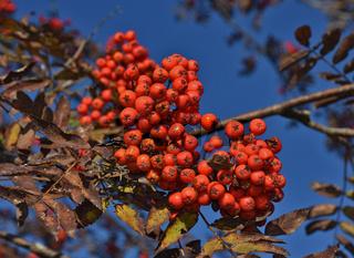 Vogelbeerbaum, Eberesche, Sorbus aucuparia, Rowan tree
