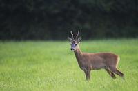 Rehbock in der Blattzeit beobachtet aufmerksam den Fotografen / Capreolus capreolus