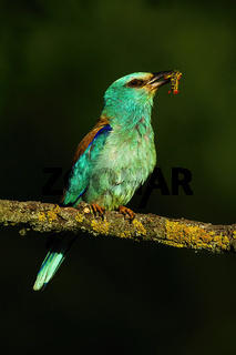 european roller with a insect in Kiskunsag National Park, Hungary