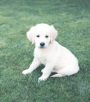 Cute beige puppy on green grass