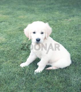 Cute beige puppy on green grass