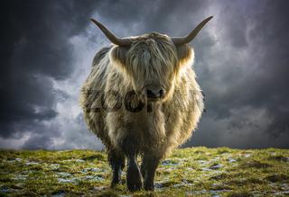 Scottish Highland Cow In Winter