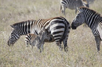 male, female and foal plains zebra standing in the savannah