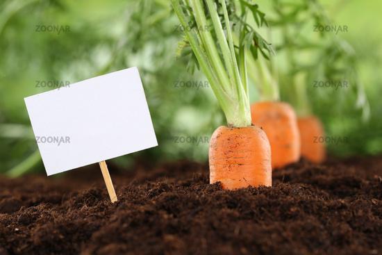 Frische Karotten im Gemüse Garten mit leerem Schild