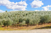 Olive grove - Uopini
