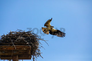 Hunter Eagle flying out of its nest