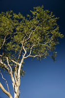 Eucalyptus tree with blue sky as background and copy space bottom right - Design Element