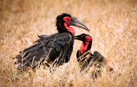 Südliche Hornraben, Kruger NP, Südafrika, southern ground hornbills, Kruger NP, South Africa