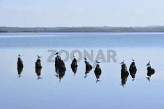Series: cormorant & sea-gulls 5