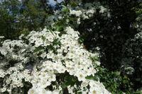 Crataegus monogyna, Eingriffliger Weissdorn, Common Hawthorn mit Rosenkaefer, Rose Chafer