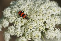 Zottiger Bienenkäfer auf einer Wilden Möhre
