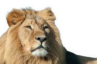 Löwe isoliert vor weißem Hintergrund