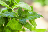 Green leaves of coffee plant covered with water drops