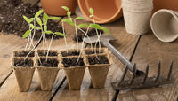 Cultivating tomato seedlings - gardening in springtime