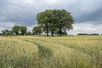 Alte Bäume im Getreidefeld, Münsterland