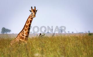 Sitzende Rothschild-Giraffe im Murchison Falls Nationalpark Uganda (Giraffa camelopardalis rothschildi)   sitting Ugandan giraffe, Murchison Falls National Park Uganda (Giraffa camelopardalis rothschildi)