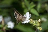 Fliegender Nachtfalter an einer kleine weißen Blüte vor dunkelgrünem unscharfem Hintergrund